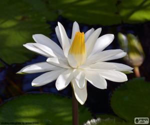 Rompicapo di Acqua Giglio bianca