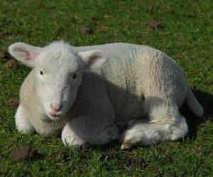 Rompicapo di Agnello o pecorino,  il piccolo della pecora e ariete