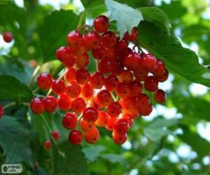 Rompicapo di Agrifoglio con i suoi frutti rossi