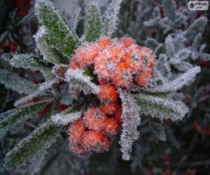 Rompicapo di Agrifoglio ghiaccio