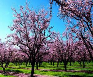 Rompicapo di Alberi in fiore mandorle in primavera