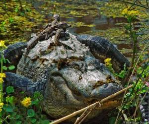 Rompicapo di Alligatore americano, uno dei più grandi coccodrilli nelle Americhe, una specie protetta in Stati Uniti
