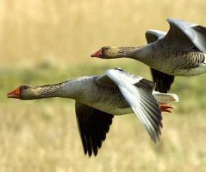 Rompicapo di Anatre in volo