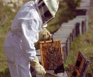 Rompicapo di Apicoltore lavorando con il particolare abbigliamento in l'alveare per la raccolta del miele