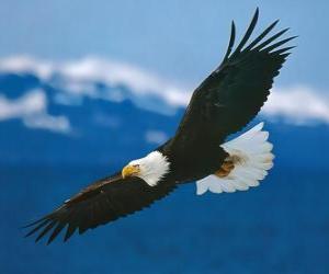 Rompicapo di Aquila con le ali spalancate in volo