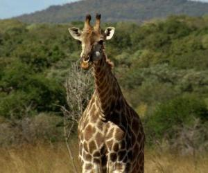 Rompicapo di Bella giraffa
