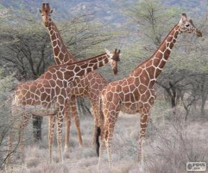 Rompicapo di Belle giraffe