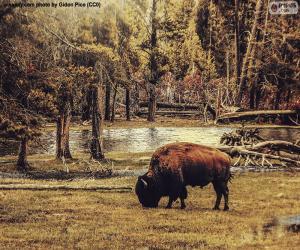 Rompicapo di Bisonte che pasce