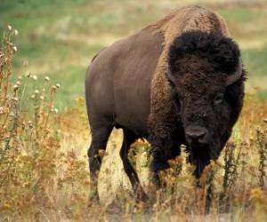 Rompicapo di Bisonte