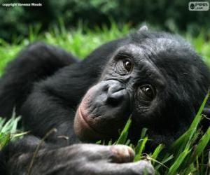 Rompicapo di Bonobo o scimpanzé pigmeo