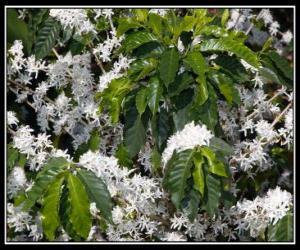 Rompicapo di Caffè fiore