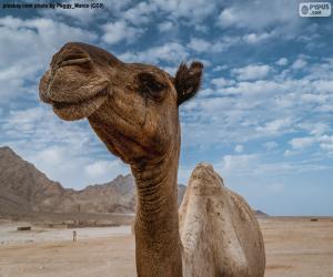 Rompicapo di Cammello nel deserto
