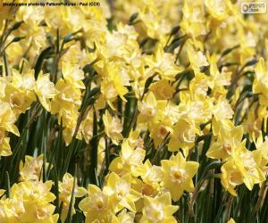 Rompicapo di Campo di Narcissus