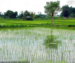Rompicapo di Campo di riso, Indonesia