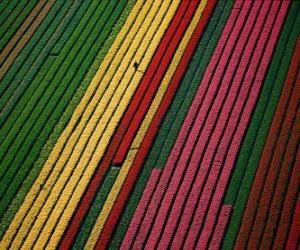 Rompicapo di Campo di tulipani in Olanda