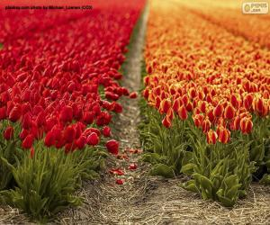 Rompicapo di Campo tulipano