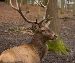 Rompicapo di Cervo nobile