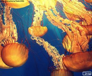 Rompicapo di Chrysaora fuscescens