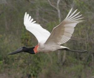 Rompicapo di Cicogna jabiru