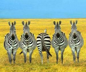 Rompicapo di Cinque zebre