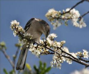 Rompicapo di Colibri pungendo un fiore