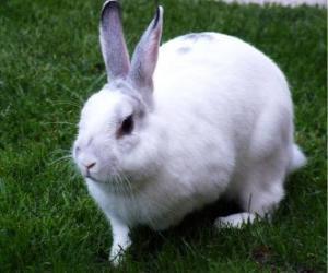 Rompicapo di Coniglio bianco come la neve