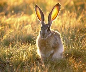 Rompicapo di Coniglio con grandi orecchie