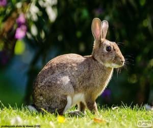 Rompicapo di Coniglio europeo