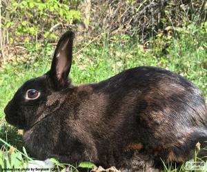 Rompicapo di Coniglio nero