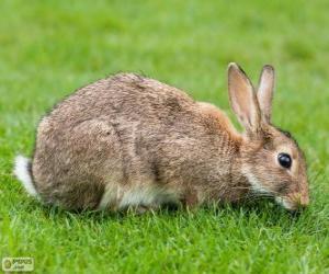 Rompicapo di Coniglio selvatico