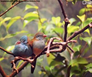 Rompicapo di Coppia di uccelli