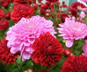 Rompicapo di Crisantemi
