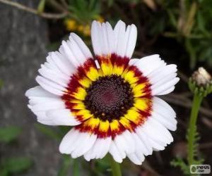 Rompicapo di Crisantemo tricolore