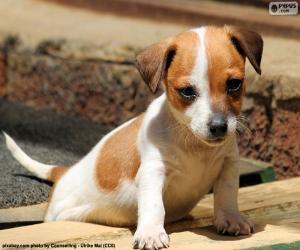 Rompicapo di Cucciolo di Jack Russell Terrier