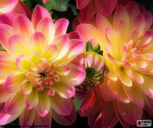 Rompicapo di Dahlia rosa e gialla
