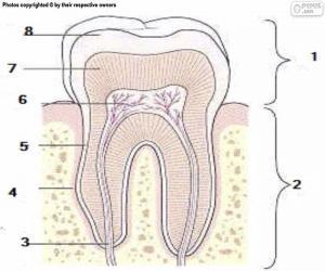 Rompicapo di Dente umano