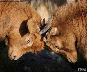 Rompicapo di Due capre di combattimento