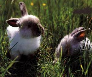 Rompicapo di Due conigli giovani in erba