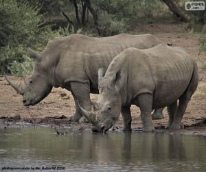 Rompicapo di Due grandi rinoceronti bianchi