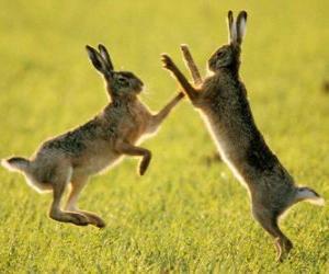 Rompicapo di due lepri saltare
