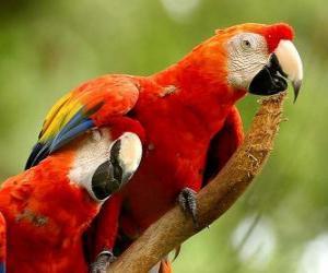 Rompicapo di Due pappagalli o parrocchetti su un ramo