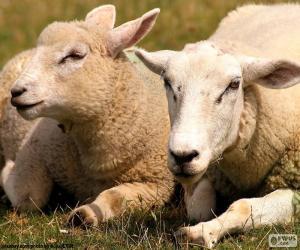 Rompicapo di Due pecore