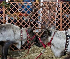 Rompicapo di Due renne di Natale