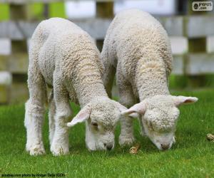 Rompicapo di Due teneri ovini