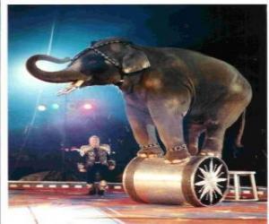 Rompicapo di Elefante addestrato agire in un circo a piedi su un cilindro
