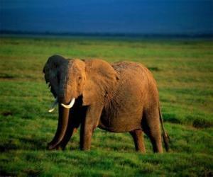Rompicapo di Elefante nella savannah