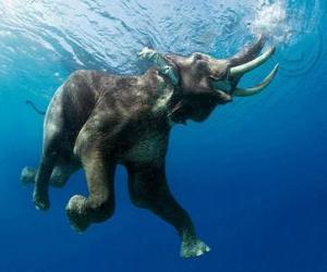 Rompicapo di Elefante nuotando