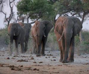 Rompicapo di Elefanti africani