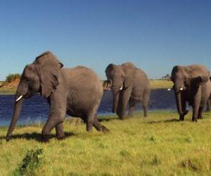 Rompicapo di Elefanti camminare