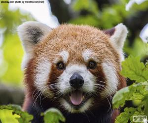 Rompicapo di Faccia panda rossa